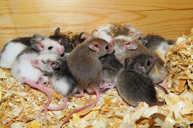 mice-579687_640
